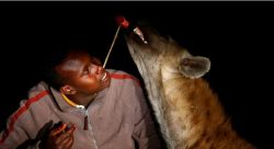 Not afraid of hyenas